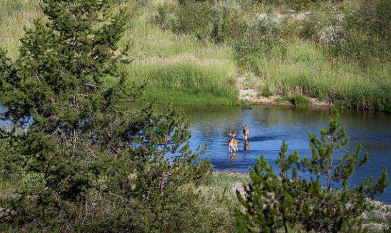 Deer wading in stream at River Ranch McCall, Idaho